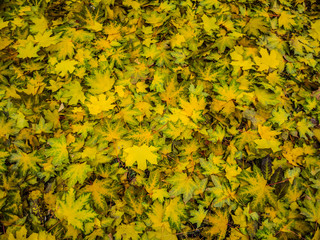 Autumn motif wallpaper, yellow leaves background