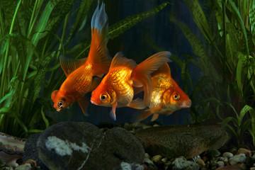 Goldfish, aquarium, a fish on the background of aquatic plants