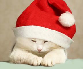 siberian tom cat isanta hat close up portrait