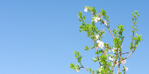 Clear blue sky and spring blooming tree with white pink flowers