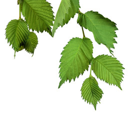 Elm Leaves isolated. Branch with young leaves.