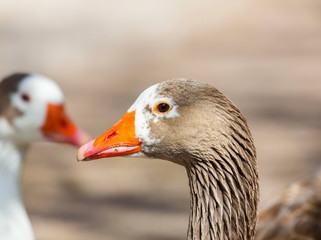 Pilgrim geese are a breed of domestic goose. The origins of this breed are unclear, but they are thought to be descended from stock in Europe, developed from American stock during the Great Depression
