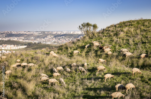 sheep grazing on a hill next to a city