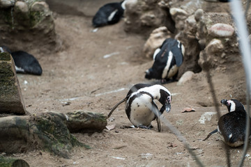 Penguin scratching its face in the zoo