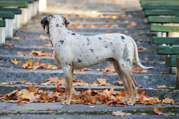 Young Louisiana Catahoula Leopard dog staying on the stairs at autumn park