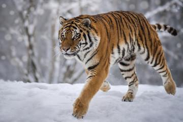 Tiger Snow Run