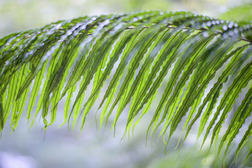 Young fern leaves close up