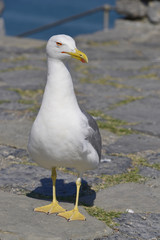 Yellow-legged Gull (Larus michahellis) on ground seen of front in Italy