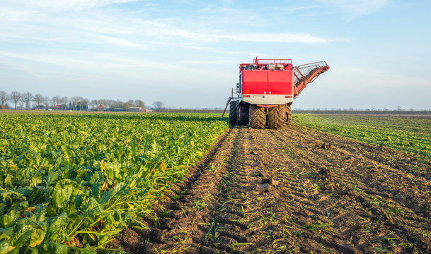 Mechanized harvesting of sugar beets in a Dutch field