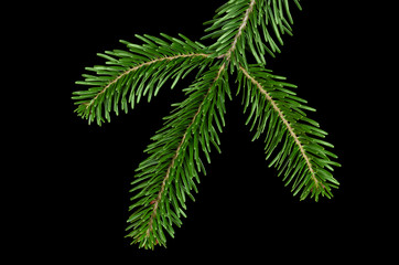 European silver fir branch from above on black background. Foliage of Abies alba, an evergreen coniferous tree with glossy dark green needle like leaves. Isolated close up macro photo.