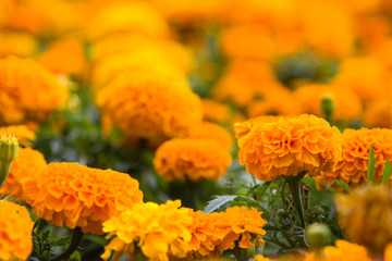 Marigold flowers (Tagetes) in the meadow in the sunlight.