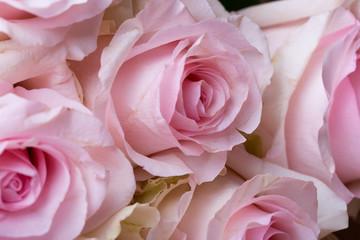 beautiful pink rose, close-up