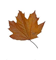 Dry wilted Maple leaf in fall