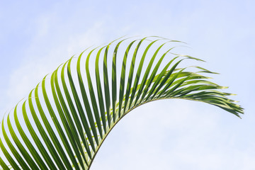 Leaves of palm tree again blue sky  background
