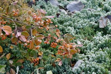 Ast des Weißfruchiges Pfaffenhütchen (Spindelstrauch) vor Beet mit kriechendem Wacholder, mit Raureif überzogen