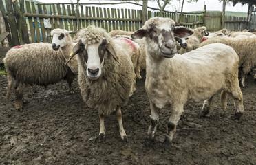 Sheep in a farmhouse