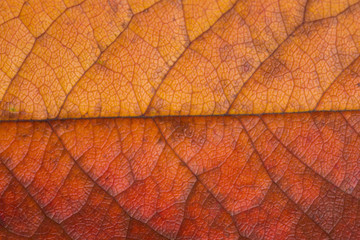 structure of autumn leaf