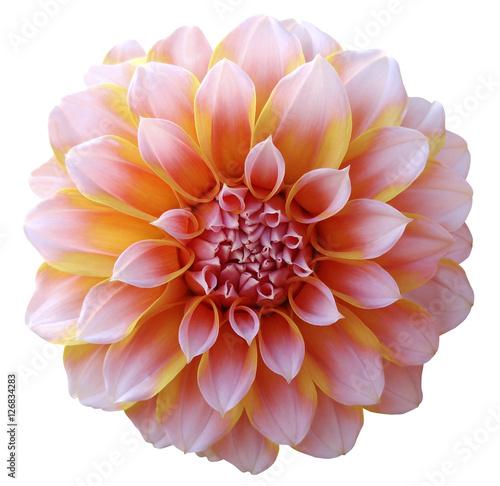 quotdahlia flower light pinkyellowvariegated flower white