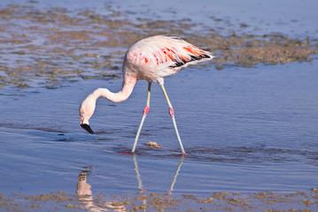 James' Flamingo (Phoenicoparrus jamesi)