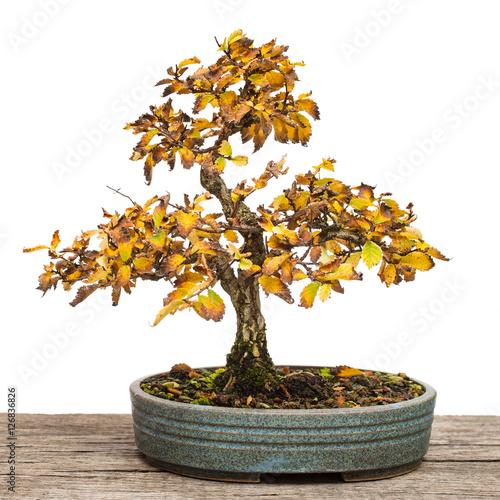 ulme zelkova nire als bonsai baum mit herbstlaub stockfotos und lizenzfreie bilder auf. Black Bedroom Furniture Sets. Home Design Ideas