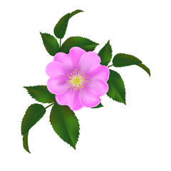 dog-rose, realistic vector illustration