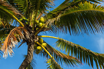 Crown of a palm tree of coconut/Crown of a palm tree of coconut against blue sky at tropical beach