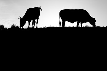 cow silhouette in black and white
