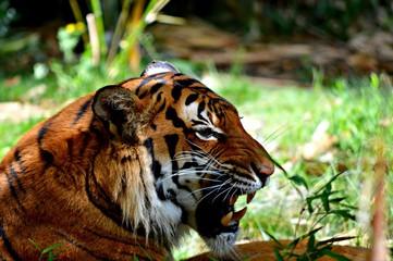 Tiger head 2