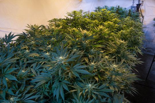 Row of Cannabis in grow room - left row