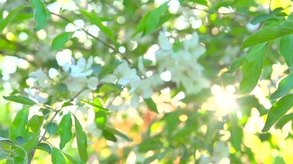 Fotoväggar - Apple tree blooming in spring orchard. Sunflare. Slow motion 240 fps. Full HD 1080p
