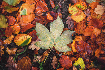 Autumn maple leaf in a forest