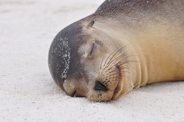 Galapagos Sea Lion sleeping