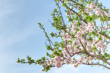 Spring blooming almond tree with flowers and foliage
