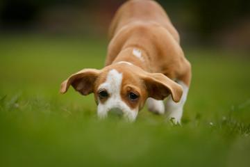 Dackel Chihuahua Mix