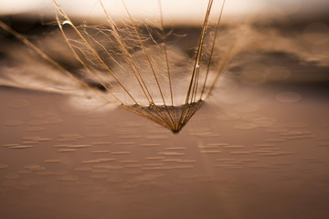 Dandelion seed with waterdrops