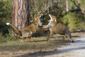 Red fox mating
