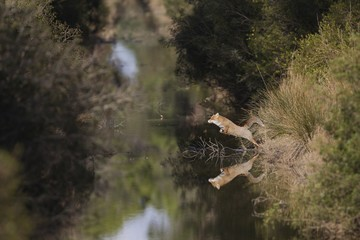 Red fox crossing a small river with a jump