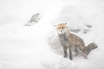 Red fox in the snow storm, italian alps