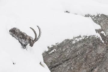 Alpine ibex in the snow, Italian Alps