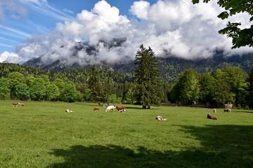 Kühe auf einer Weide in Grainau