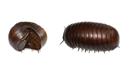 Malagasy giant pill millipede isolated on white background