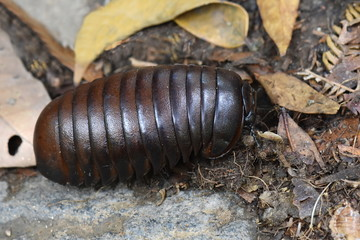 Malagasy giant pill millipede in a rainforest