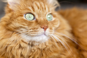 red fluffy cat with green eyes, close-up