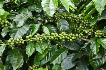Green coffee beans on stem