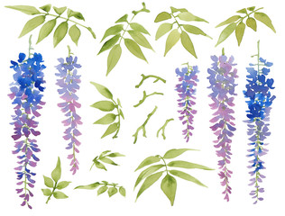 Collection of painted watercolor floral elements, blooming wisteria with leaves, isolated on white background.