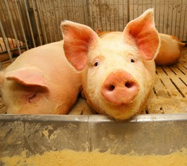 snout of the pig in the pigsty on the farm