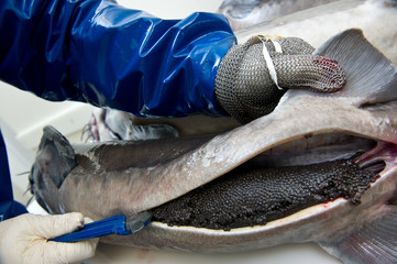 Workers prepare caviar, removing the eggs of a female sturgeon