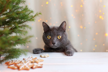 waiting favorite dish/ whiskered cat at a table with cookies and Christmas tree on the background of holiday lights