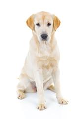 cute labrador retriever dog is sitting