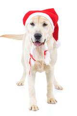 cute santa claus labrador retriever dog standing